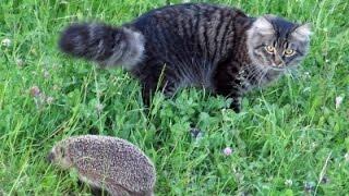 Funny Hedgehog Videos   Hedgehogs Meeting Cats Compilation    Cute Animals