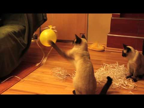 Siamese Cat After Party