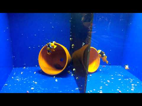 Mr. Cob's Clownfish Broodstock Setup For Spawning Breeder Pairs