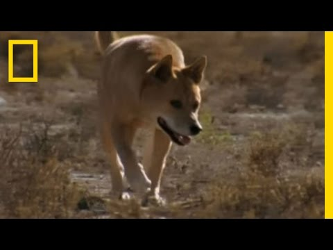 Dingo vs. Kangaroo | National Geographic