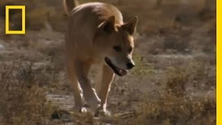 Dingo vs. Kangaroo | National Geographic YouTube Videos