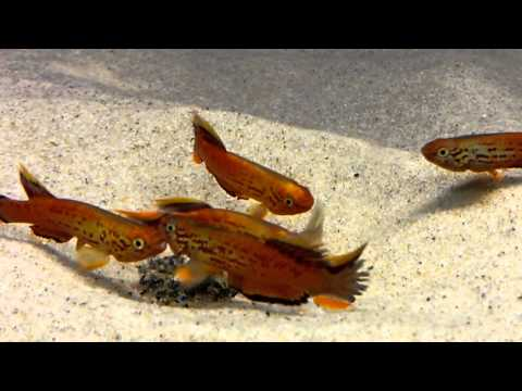 Gold Australe Killi Fish