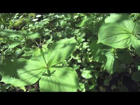fleurs et plantes sauvages du printemps youtube. Black Bedroom Furniture Sets. Home Design Ideas