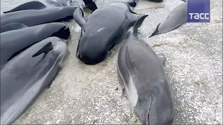 Более 400 дельфинов-гринд выбросились на берег в Новой Зеландии(Более 400 дельфинов-гринд выбросились на берег в Новой Зеландии По предварительным данным, около 300 животных..., 2017-02-10T08:52:51.000Z)
