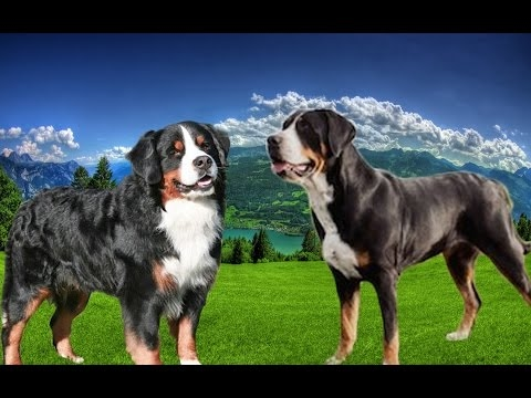 Bernese Mountain Dog vs Greater Swiss Mountain Dog - Dog Videos [Mr Friend]