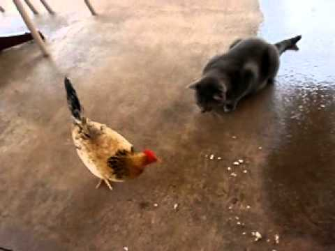 Cat Pounces on Chicken eating rice
