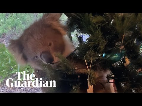 Confused koala ends up in Australian family's Christmas tree