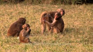 Rhesus monkeys socializing with each other
