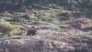Охота на кабана.  Огромный секач прёт как танк не чувствуя пуль