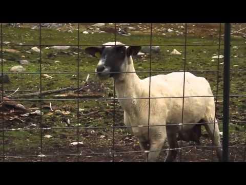 Funny sheep screams like a human