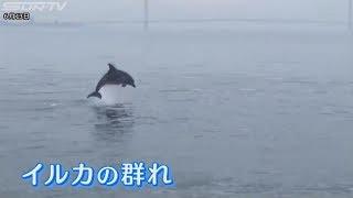明石市沖で6月10日、野生のあの動物が群れで姿を現しました。 明石市沖...