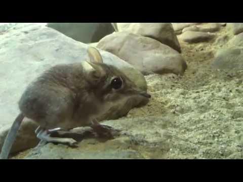 Round Eared Elephant Shrew (Macroscelides proboscideus) Prague Zoo חדף פיל עגול אוזן