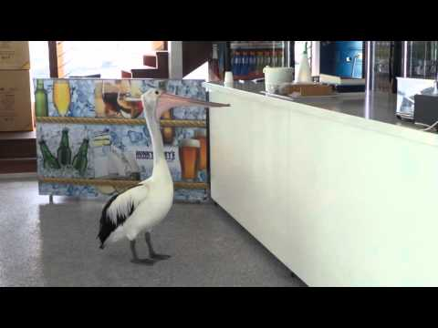 Pelican Waiting To Be Served In A Fish And Chip Shop