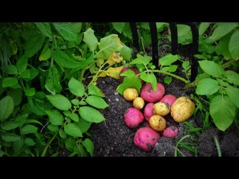 How To Plant Grow Harvest Potatoes Organi From Start To Finish
