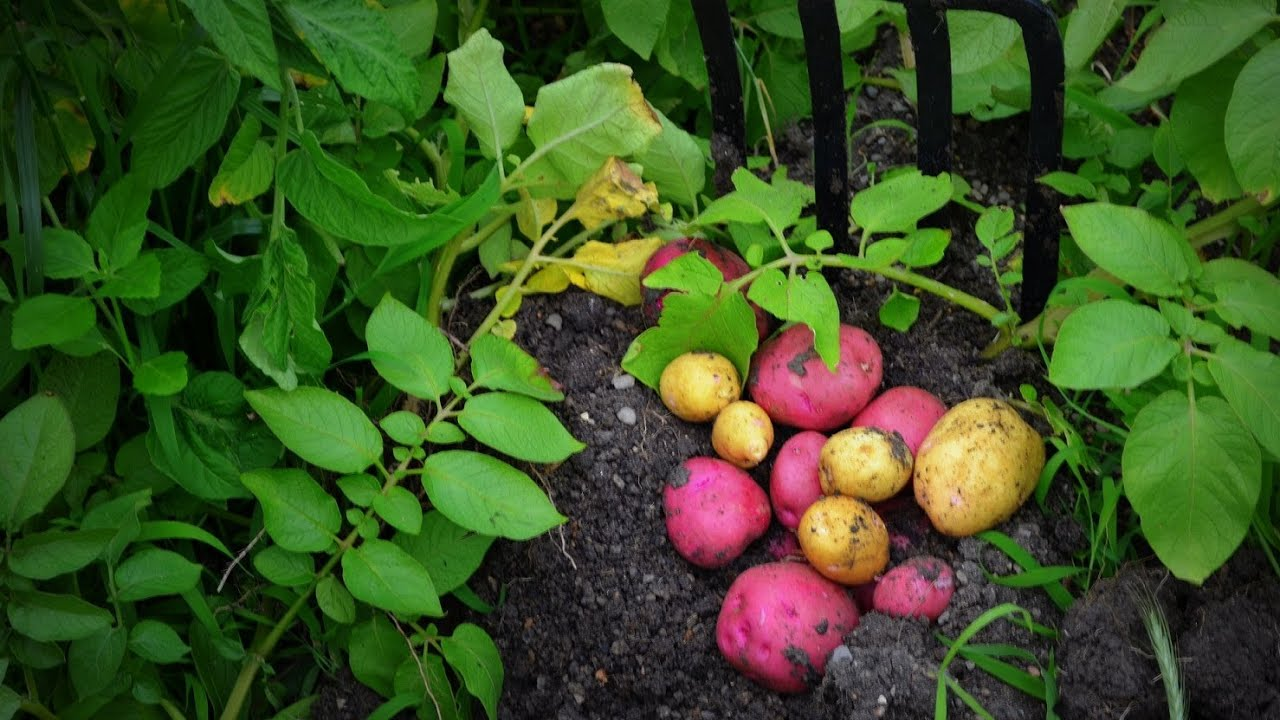 How To Plant, Grow, U0026 Harvest Potatoes Organically From Start To Finish!    YouTube