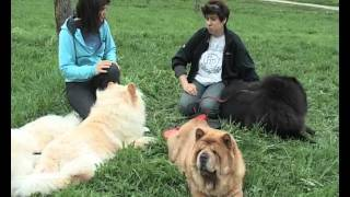 Представляем породу собак  - ЧАУ ЧАУ