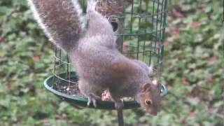 Seed-obsessed Squirrels Foiled by Oiled Pole