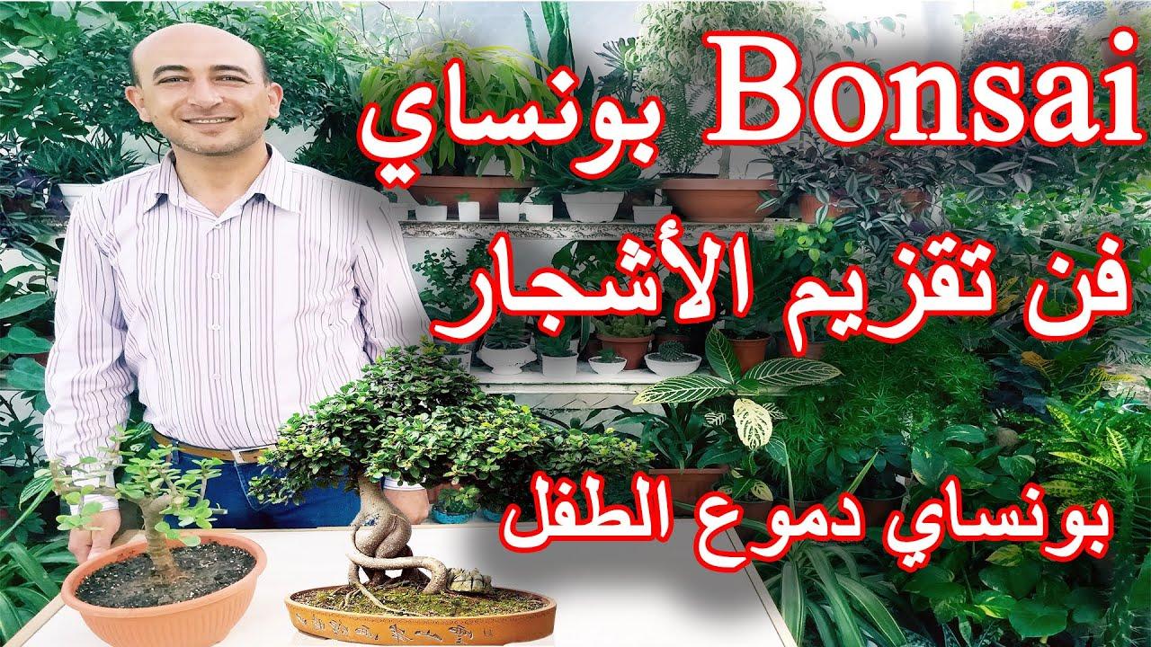 فن تقزيم الاشجار, تقزيم نبتة دموع الطفل, بونساي, The Art of Bonsai, How to Create Jade Bonsai