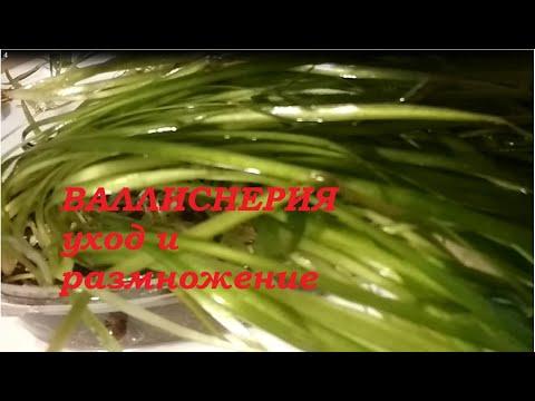 Аквариумное растение валлиснерия - уход и размножение.//Vallisneria plant - care and propagation//