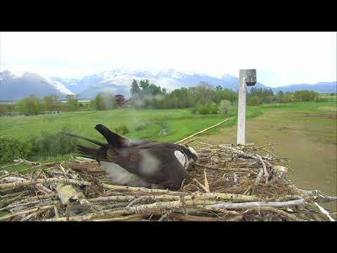 Osprey Nest - Charlo Montana Cam 05-20-2018 17:34:53 - 18:34:54