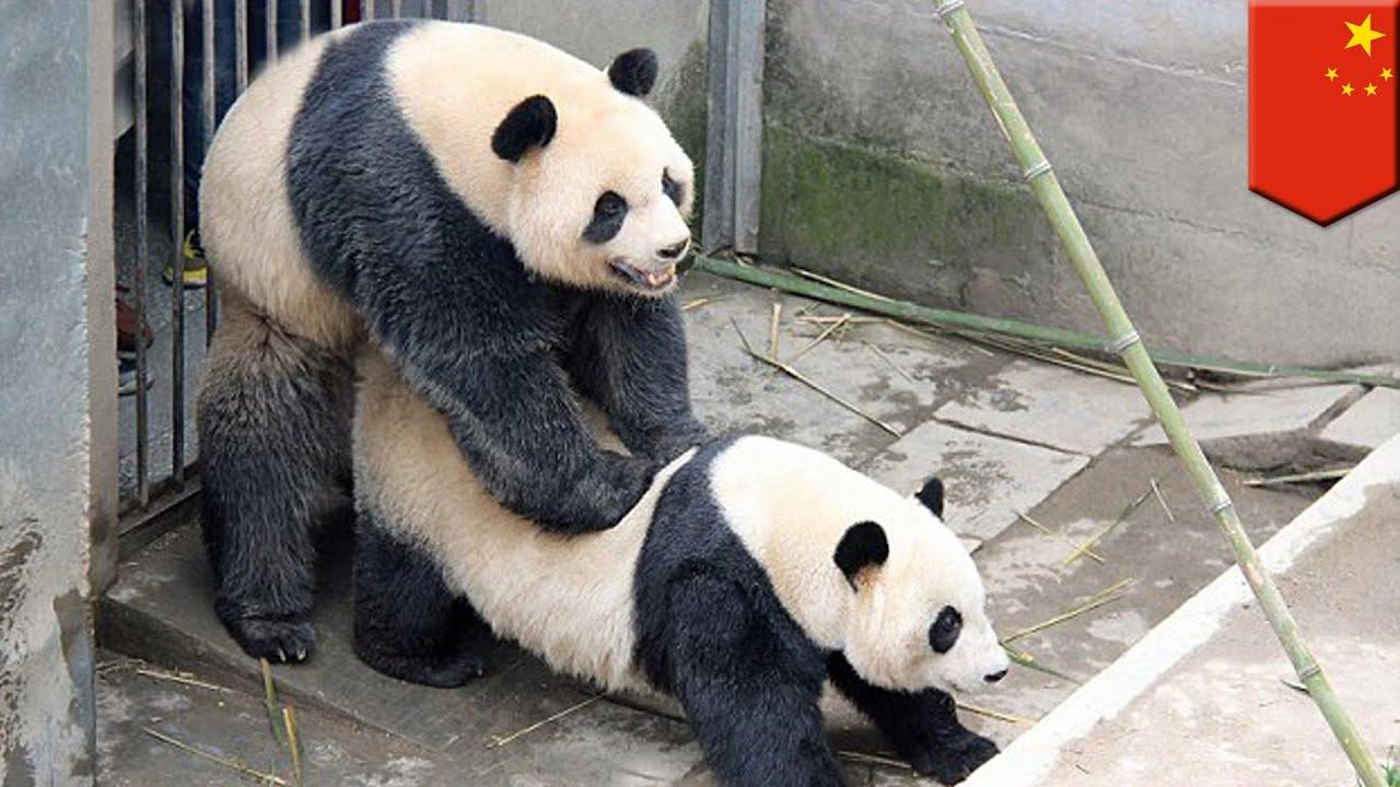 Chiny: pandy urządzają sobie seks maraton w zoo - YouTube