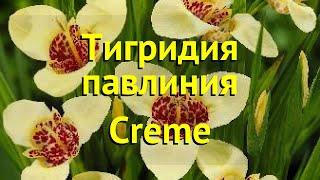 Тигридия павлиния Крем. Краткий обзор, описание характеристик tigridia pavonia Creme