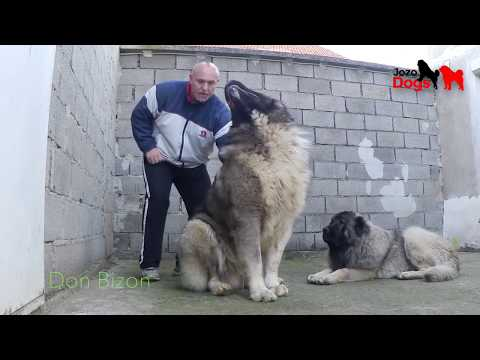 One of the largest dogs in the world