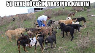 50 TANE SOKAK KÖPEĞİNİN ARASINDA KALDIM ( Kangal, Pitbull, Rottweiler, Doberman ) Strongest Dogs