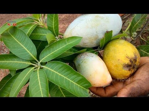 Farm Fresh Mangos Cutting and Eating In My Village| Village Healthy Food