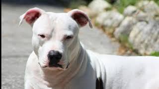 3 Reason Why Tibetan Mastiff  Ban in India ?[Hindi] 10 Problems Of Tibetan Mastiff Dogs Biography