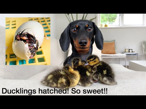 Ducklings Hatched Dachshund And Ducklings Youtube