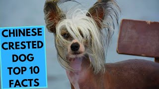 Chinese Crested Dog  TOP 10 Interesting Facts