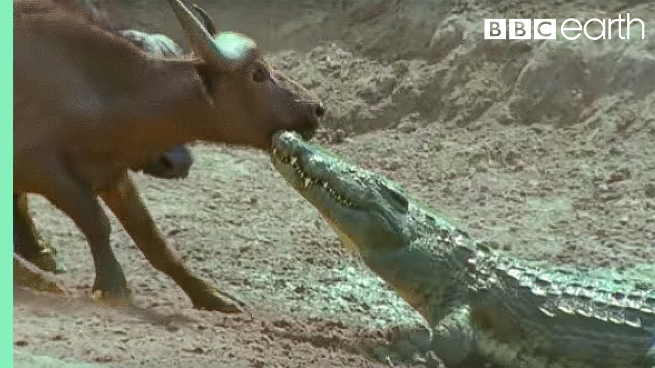 the nile crocodile vs buffalo wild africa bbc earth youtube