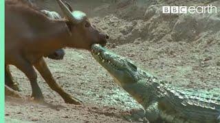 The Nile Crocodile vs Buffalo | Wild Africa | BBC Earth