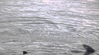 Gray Whales off Camano Island