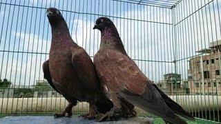 চিলা বিক্রি করা হবে ~ The brounge Chila pair for selling