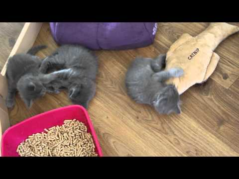 Nebelung kittens, 6 weeks old, playing with eachother and a catniptoy