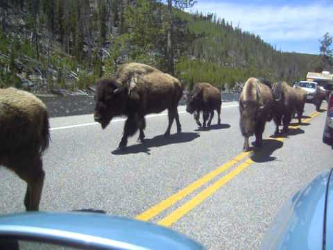 Bisontes por la carretera en yellowstone-2011