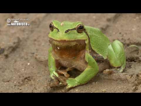 Rosnička zelená - (Hyla arborea) - European Tree Frog - Europäischer Laubfrosch