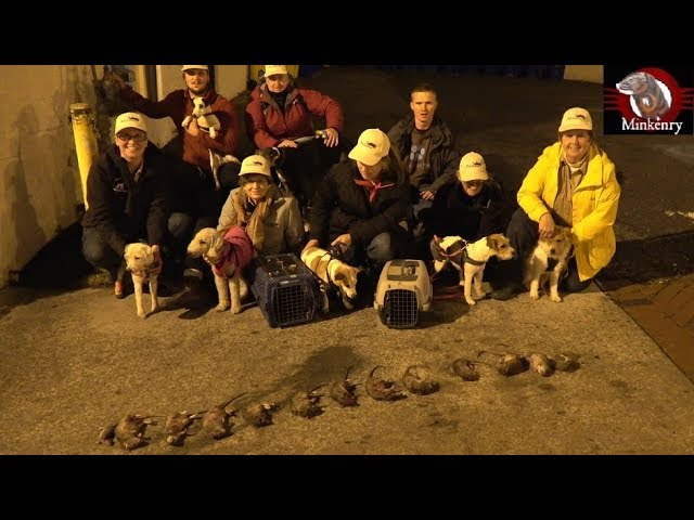exterminating-big-rats-in-the-big-city-with-mink-and-terriers