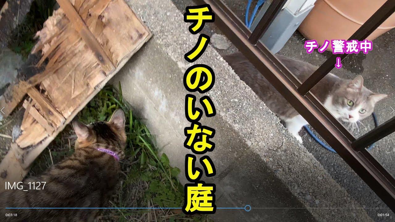 野良猫チノがいない間に、お庭で遊ぶネコ達!