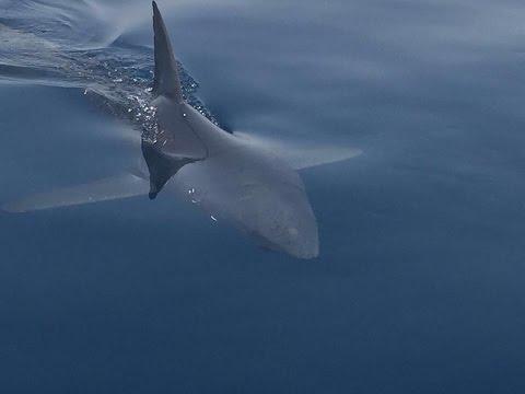 Red Sea Shark which attacks people     هجوم قرش في العين السخنة يتسبب في إصابة شاب في قدمه