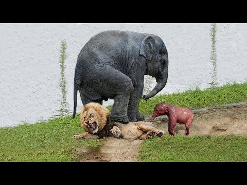 Lions Hunt An Elephant, But They Can Not Control It With Force. Lion Vs Elephant Real Fight To Death