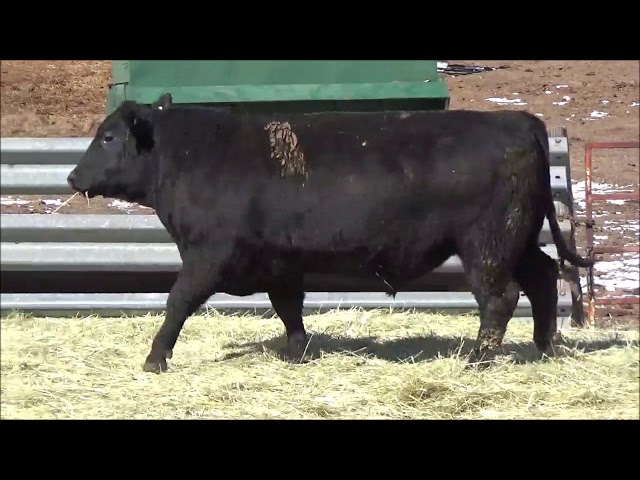 Connealy Angus Lot 477
