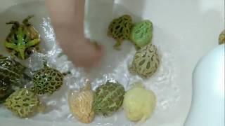 ツノガエル達の掃除パート2、撮るものが無かったわけじゃないよ|ω・) thumbnail