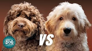 Labradoodle VS Goldendoodle | Which Poodle Mix Breeds Is Better?
