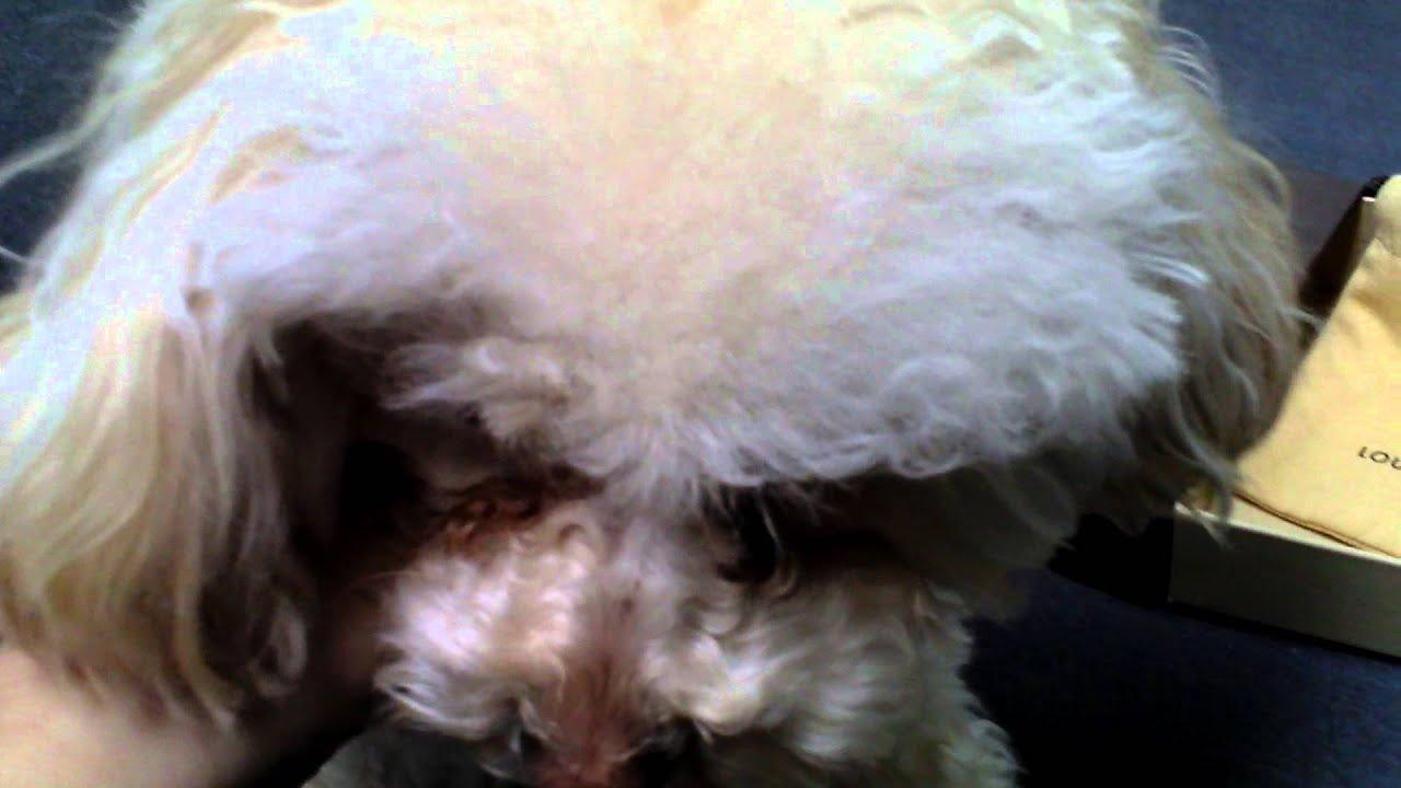 57d2c954bca2 Louis Vuitton Baxter XS Dog Collar - YouTube