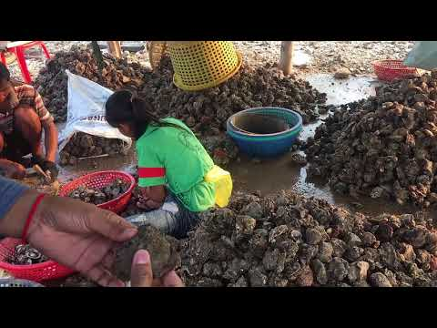 Oyster | sea food | How they clean oyster
