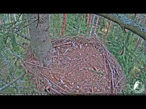 LDF Ūpis tiešraide / Eurasian Eagle-owl webcam in Latvia