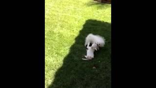"""Adorable Little Princess """" Angel"""" White Pomeranian For Sale ~ Boutique Teacup Puppies"""